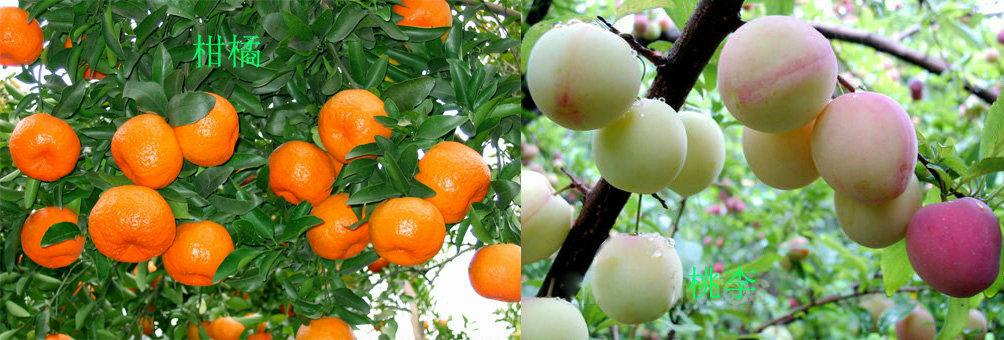 师宗的高良、五龙适宜热区水果种植