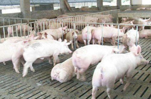泌阳县民政技校举办养猪技术培训班