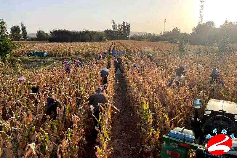临泽县平川镇:3.5万亩精品制种玉米收获拉开序幕